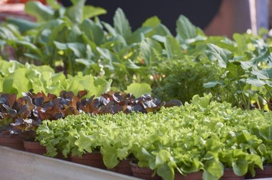 Salat- und Gemüsesetzlinge